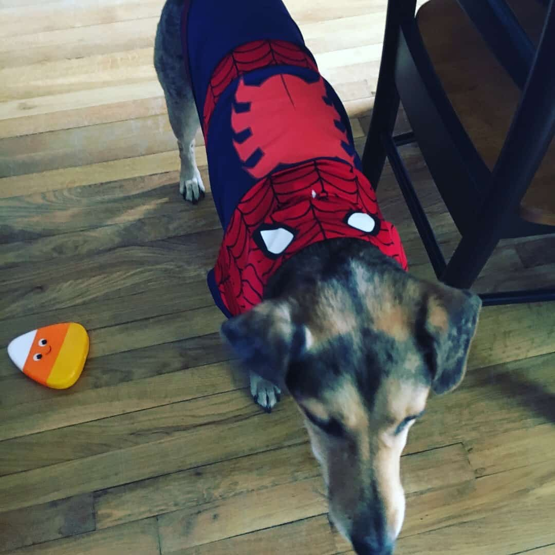 oscar as spiderman dog halloween costume